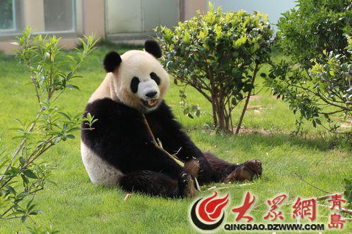大熊猫来青岛啦!8块5便可在动物园看国宝