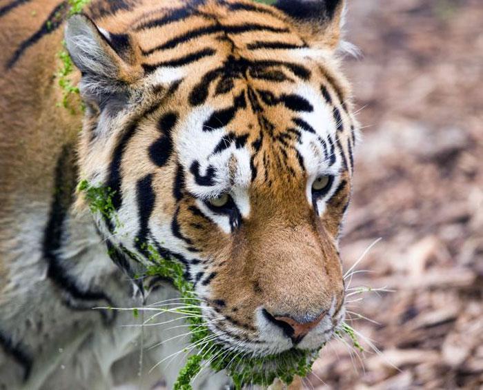 """丹麦哥本哈根动物园有头老虎非常喜欢游泳,而且始终会让自己的头部露出水面。游客Soren Lundgren Neilson拍下了老虎游泳和""""上岸风干""""的过程。   在一片生满了浮萍的池塘里,老虎正在""""淡定""""地划水前进。当面对镜头时,老虎的眼神尤其让读者忍俊不禁。据称,在短短10分钟内,这头老虎先后四次跳下水玩耍。 初审编辑 阚金剑"""