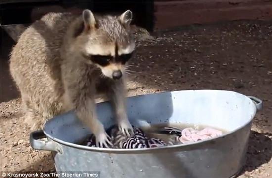 而雌浣熊玛莎利用水,沙子和鹅卵石洗涤衣服.