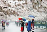 """青岛中山公园游客赏""""樱花雨""""美景(组图)"""