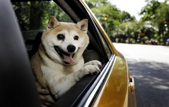 """美""""微笑柴犬""""被誉为全球最幸福小狗(组图)"""
