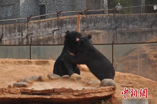 云南一村民两年前从越南人手里买了两只宠物狗,今年才发现竟然是国家二级保护动物黑熊。近日,两只黑熊被平安送往云南省野生动物收容拯救中心进行保护饲养。图为两只黑熊在云南省野生动物收容拯救中心嬉戏。摄影:白拓