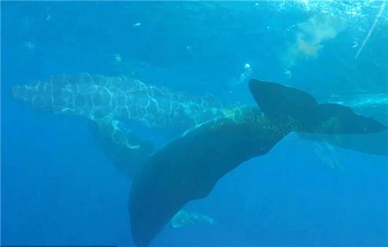 地球上最大的动物:巨型蓝鲸亮相印度洋(图)