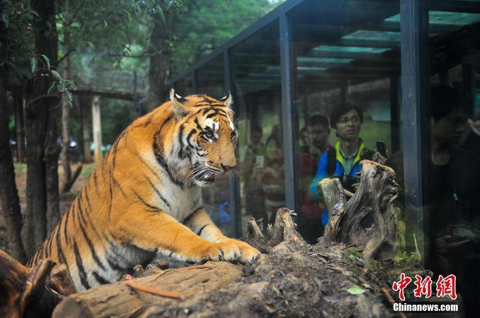 """云南野生动物园:人与老虎的""""亲密接触""""组图"""