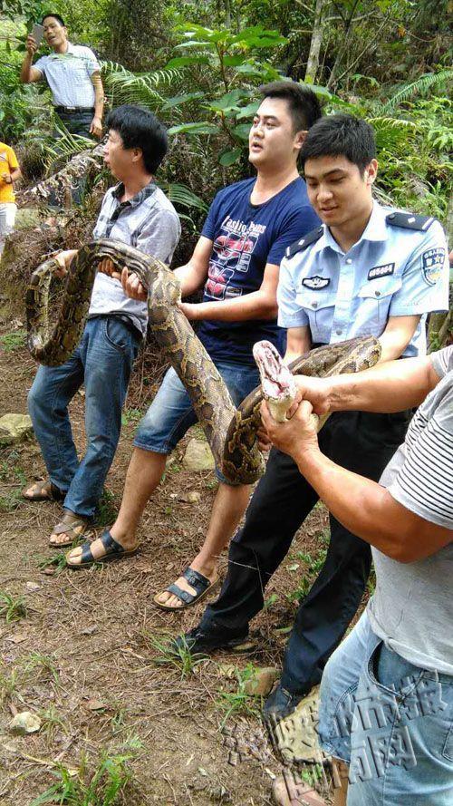 又见蟒蛇!福建泉州现4米长蟒蛇 正吃山羊时被制服(图)