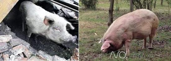 """汶川地震""""猪坚强""""后代成宠物 1万元1只(组图)"""