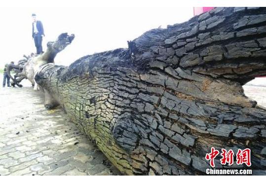 四川发现巨型乌木:总重量达15吨 乌木是什么价值多少