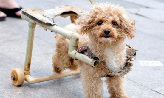 """细数动物界""""身残志坚""""模范   近日,南昌一只名叫""""熊熊""""的励志狗引起人们的关注。这只可爱的小狗2010年被人丢弃在路边,当时后肢已经瘫痪,为了能让它活动自如,南昌小动物保护协会找人专门为它制作了轮椅。"""