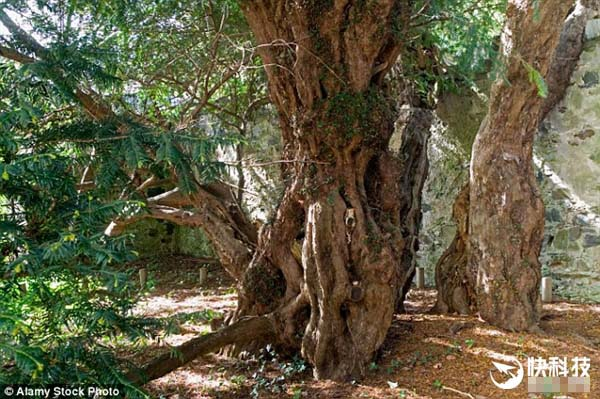 五千年古树突然变性 谁能辨雌雄(图)