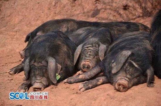 猪睡觉可爱图片