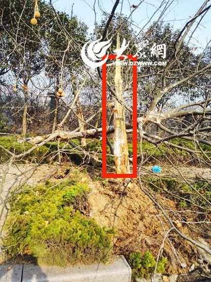 法国泡桐树被拦腰撞断