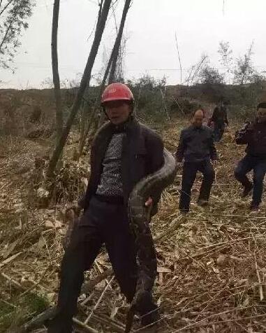 工地现超级大蟒蛇 百岁高龄已放归自然(组图) - 中国