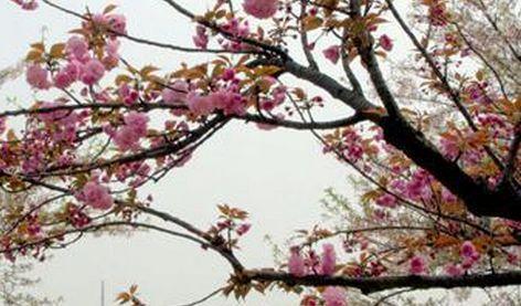 专家批赏樱广告 武汉为世界樱花之乡?