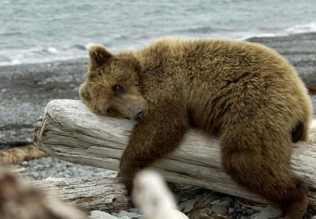 这只小黑熊属于国家二级保护动物