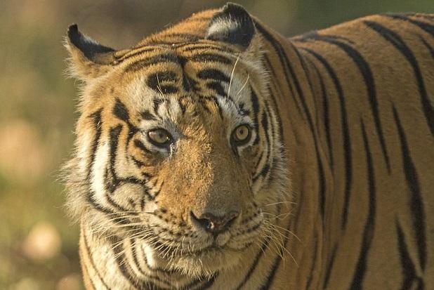 "Sarosh Lodhi拍摄的""猫虎""(网页截图)   俗话说,""照猫画虎"",但印度有头孟加拉虎的前额花纹却酷似大写的英文CAT(猫)字样,结果让它成了游客与居民追捧的对象。   这头呆萌的雄性""猫虎""现年14岁,名叫""木纳""。从一生下来,这头老虎额部的黑色花纹就像单词CAT。每年都有数千游客慕名前来一睹起风采。   印度摄影师 Sarosh Lodhi有幸近距离拍到了木纳头上的奇特花纹,并将其发布在社交媒体"