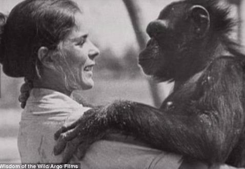 猩猩认出25年前救命恩人 飞奔上前拥抱感动网友(组图)