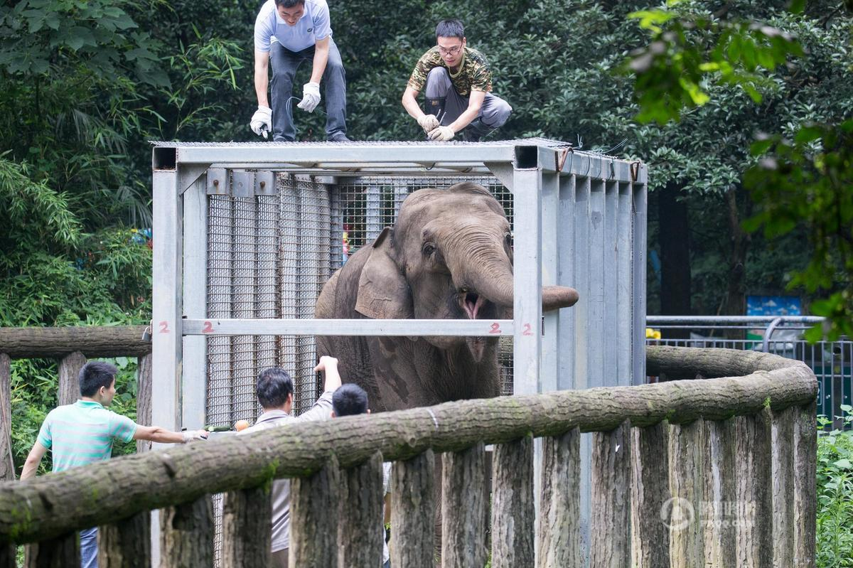 """动物园忙""""送亲"""" 杭州大象怀孕回娘家动用吊车来搬运(组图)"""