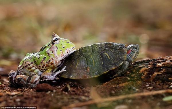 太慢!青蛙搭乌龟便车