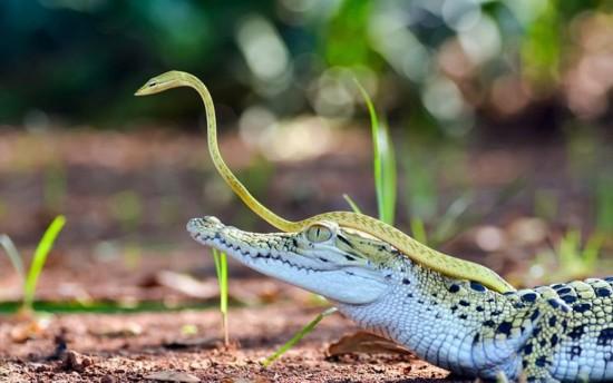 小蛇搭乘鳄鱼探路 在鳄鱼头顶勘探路况(组图)