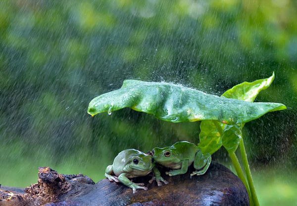 印尼两青蛙拿树叶当雨伞避雨 画面有爱