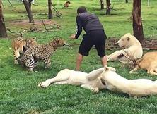 管理员险遭花豹袭击 老虎及时搭救