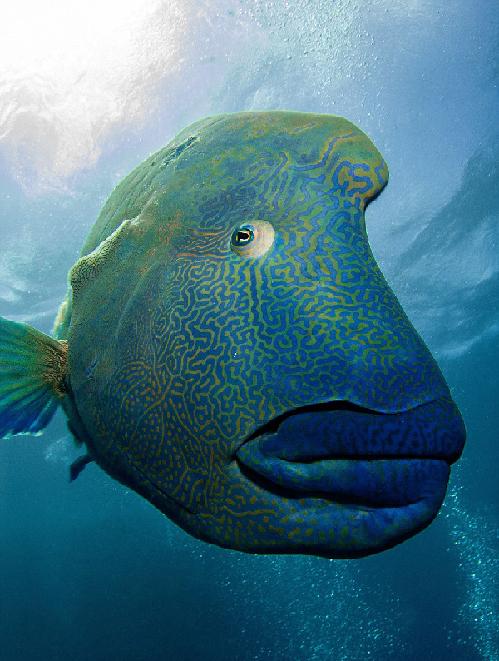 是世界上最大的珊瑚鱼类