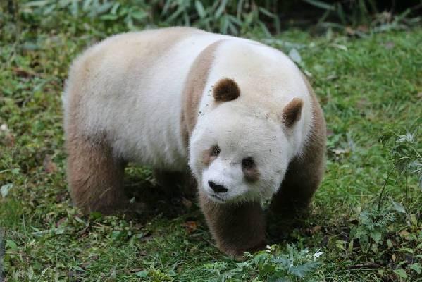 全球唯一的棕色大熊猫,你见过吗?