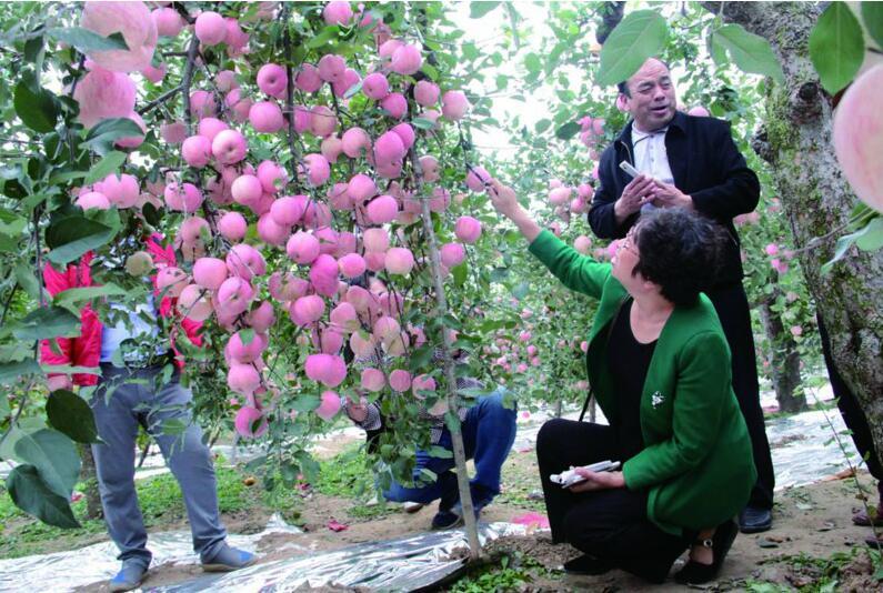 近日,令平度大田镇梆子村果农72岁农民孙青山高兴的是,50余棵32岁高龄的苹果树再次丰收,亩产超过万斤,其中一棵苹果树一根树枝竟然挂果211个,形成一道罕见的苹果墙,让附近村民啧啧称奇。记者 马丙政 通讯员 张德杰 张陶莉   老树呈现苹果墙   记者在孙青山的果园看到,一棵棵苹果树直径有二三十厘米,树干犹如饱经沧桑的老人,而新枝条却长势茂盛,一个个红润的大苹果缀满枝头。孙青山的果园有一亩七分地,50多棵苹果树已经有32年的高龄。 32年树龄的苹果树相当于人过花甲之年,原以为老树结不出