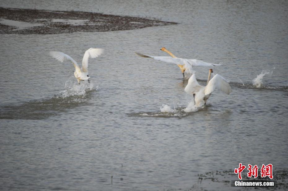 国家二级保护动物白天鹅滞留在甘