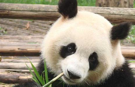 小伙跳进熊猫馆调戏大熊猫 分分钟被打倒!