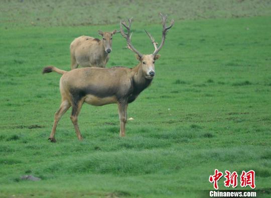 濒危动物,国家一类保护动物麋鹿在鹿园栖息