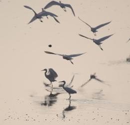 珍稀白琵鹭飞抵湿地栖息越冬