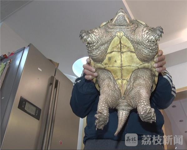 市民捕到  巴西    鳄龟