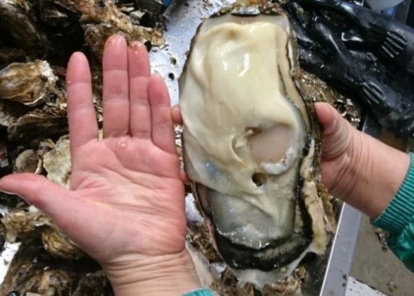 日核灾区现巨型生蚝:比成年男子的手掌还大一圈