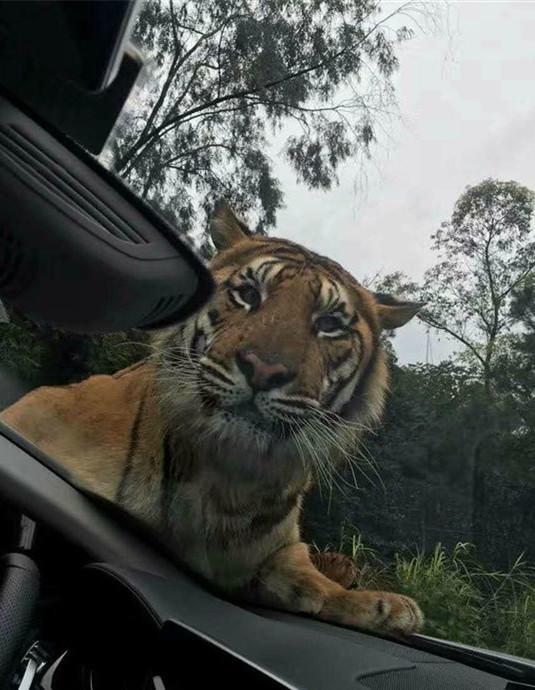老虎拦下游客车辆 有惊无险