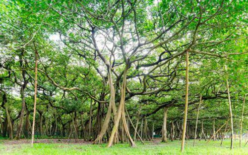 印度榕树独木成林 最大一棵直径411米变景点