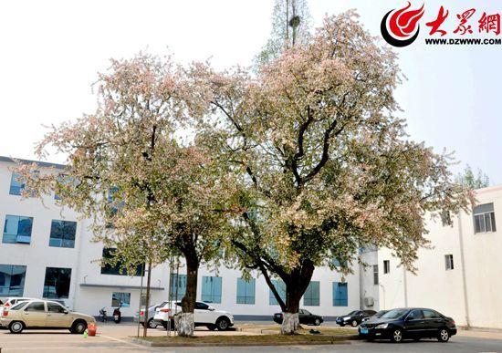 在日照市东港区政府院内也有两株树龄约350年的湖北海棠,植于清朝康熙