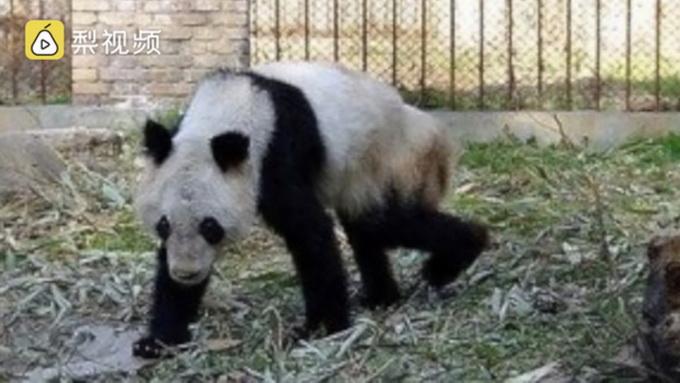 熊猫瘦成皮包骨 生存条件不合格?(组图)