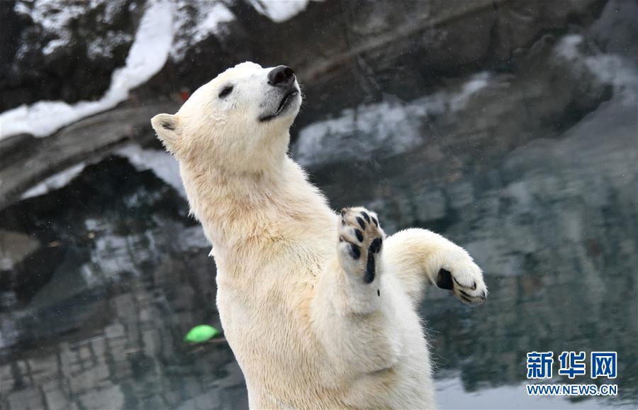 俄罗斯莫斯科市动物园北极熊憨态可掬