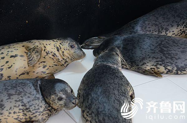 8头海豹登陆日照 今夏将在四季花鸟园亮相