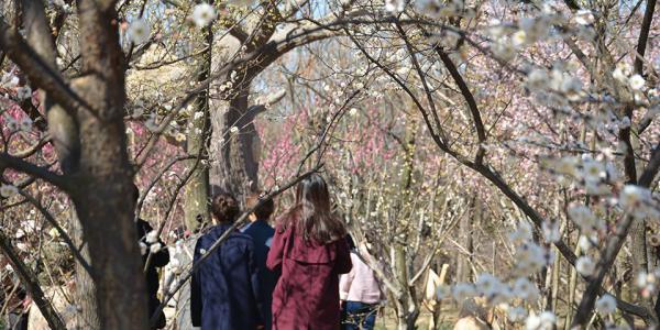日照市植物园梅花盛开 吸引众多摄影爱好者(组图)