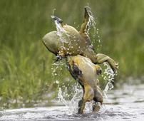 两牛蛙大打出手 争夺领地和配偶