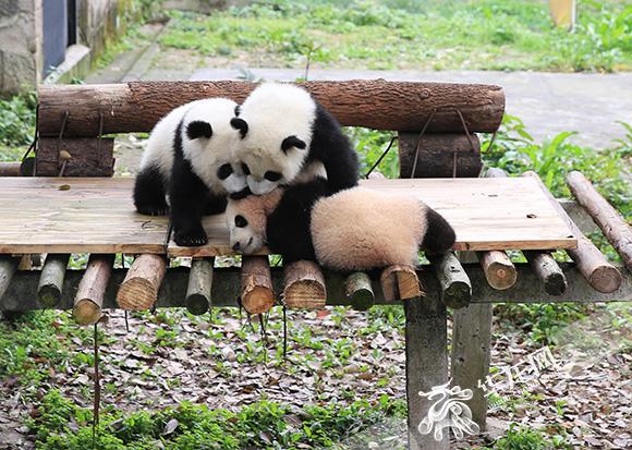 三只可爱的大熊猫幼崽