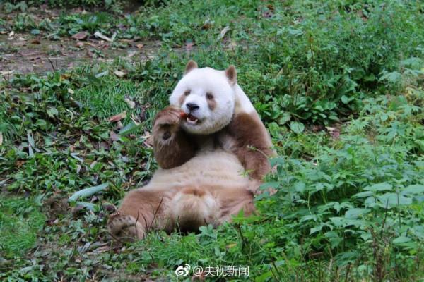 世界唯一活体棕色大熊猫七仔惬意撒欢(组图)