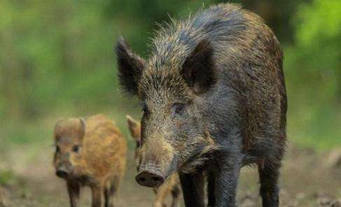 日本猎杀变异野猪 核辐射让处理尸体成难题(图)