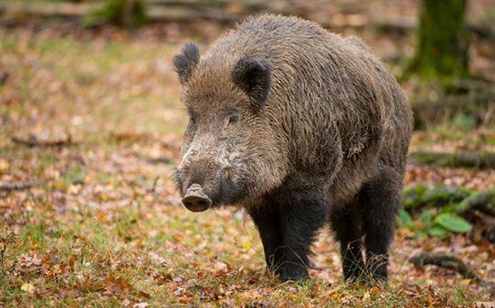 猎杀变异野猪 核污染危害到底有多大 组图图片
