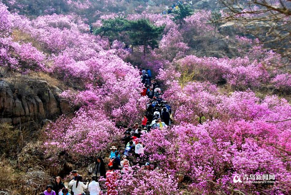 高清:青岛大珠山杜鹃花会开幕 万亩花海奇美壮观
