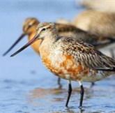 鸭绿江口:沸腾的小鸟