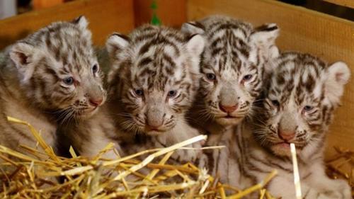 奥地利白色动物园迎来白虎四胞胎 萌化人心(图)