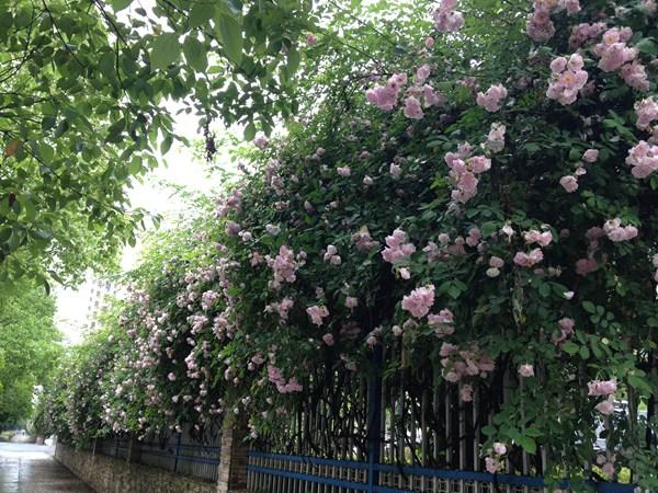 """黄山城区蔷薇花墙成""""网红"""""""